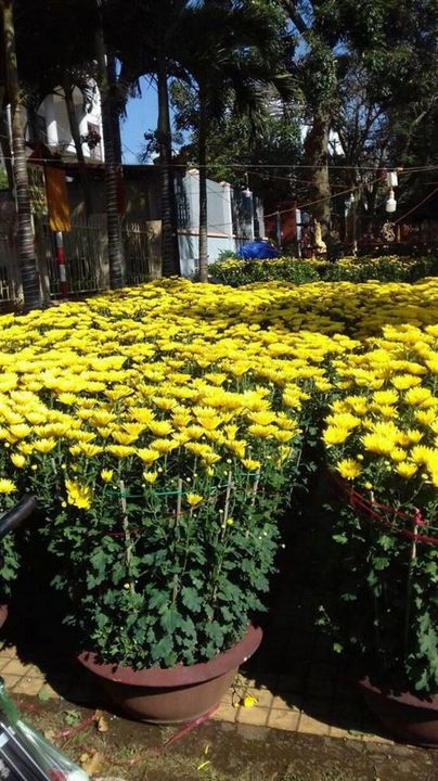hoa cúc - Good-A