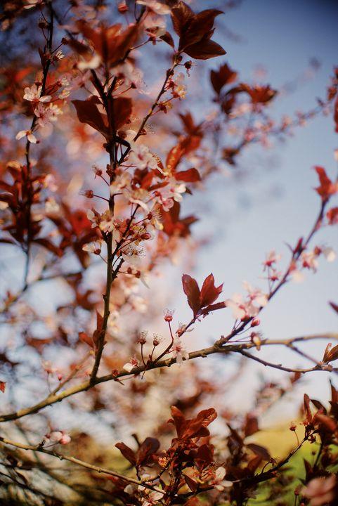 Portland Oregon Blossoms - Photography