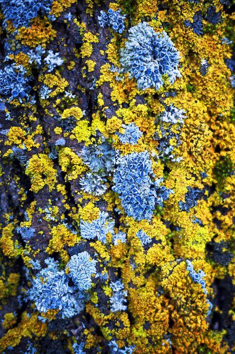 Tree moss Canada - Kumoki