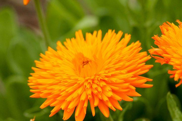 Orange Flower - Penny's Gallery