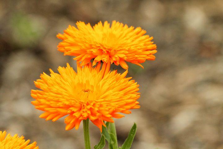Beautiful Yellow-Orange Flowers - Penny's Gallery