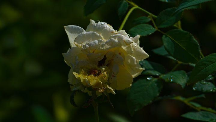Beautiful Tropical Roses Hugging - Derrick Block Photography
