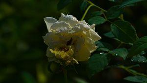 Beautiful Tropical Roses Hugging