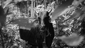 Tropical Black Carabao Cow
