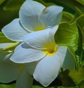 Samaguita Flower