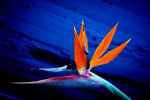 Bird of Paradise in vivid