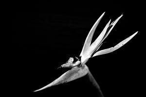 Bird of Paradise in Monochrome