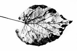 leaf skeleton in monochrome