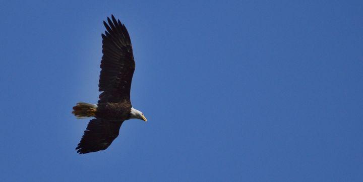 Soaring Eagle - Boomerob photography