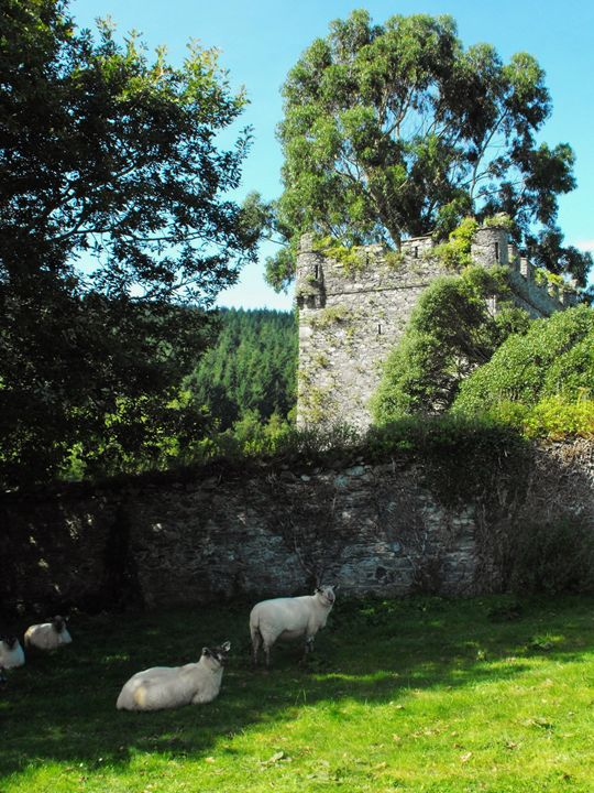 Sheep in Castle Shade - Pictures of Ireland