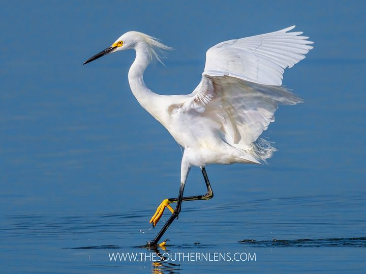 Snowy egret ballet - The Southern Lens