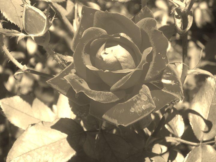 Sunbathing Rose - The Big Easel