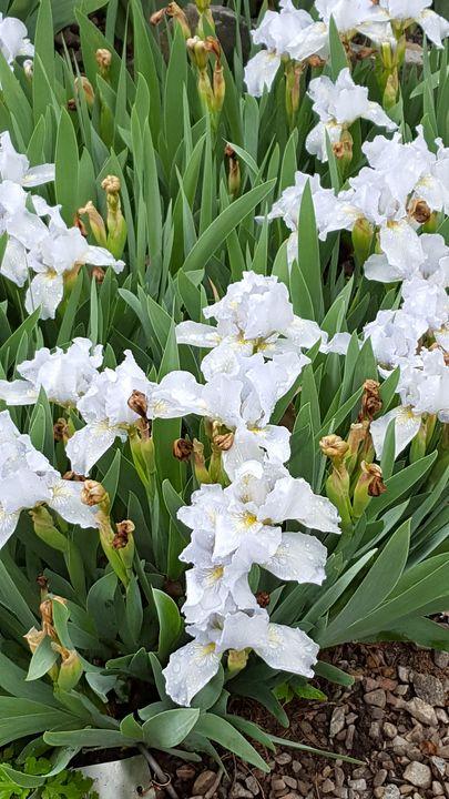 Flowers in bloom - Cindy Lou
