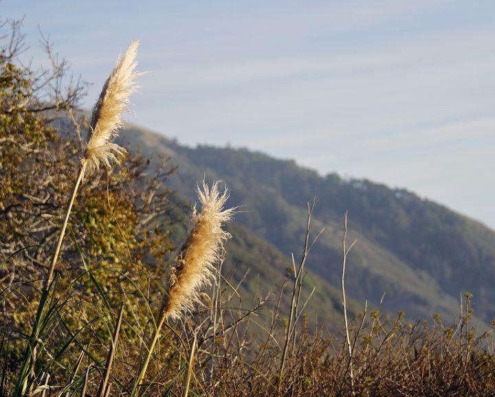 Baynard Foxtails, Big Sur - Nick Melesko Photography