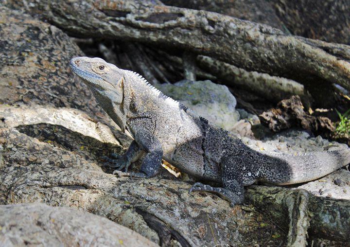 Spiny-tailed Iguana - Nick Melesko Photography