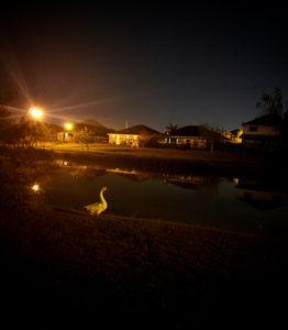 Night Duck
