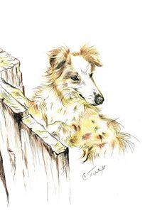 Welsh Sheep Dog