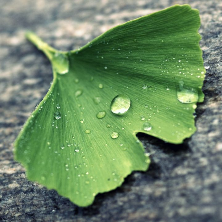Ginkgo leaf and drops - Gabi Siebenhuehner