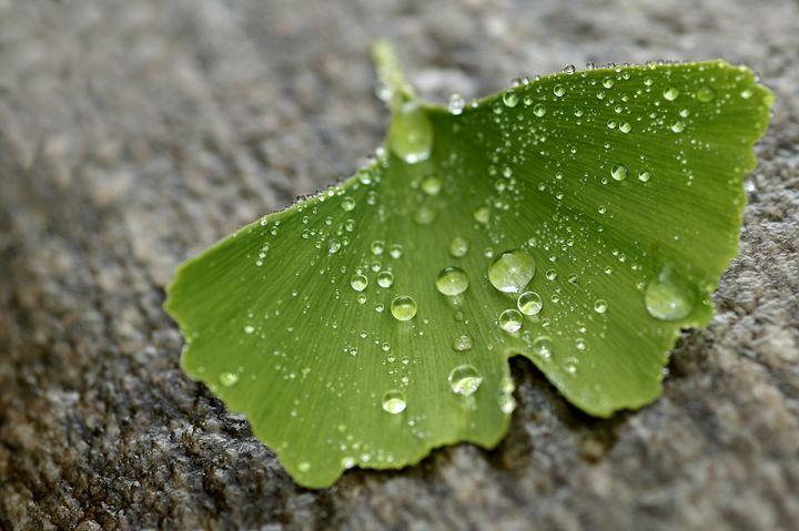 Ginkgo leaf and drops - Gabi Siebenhuehner