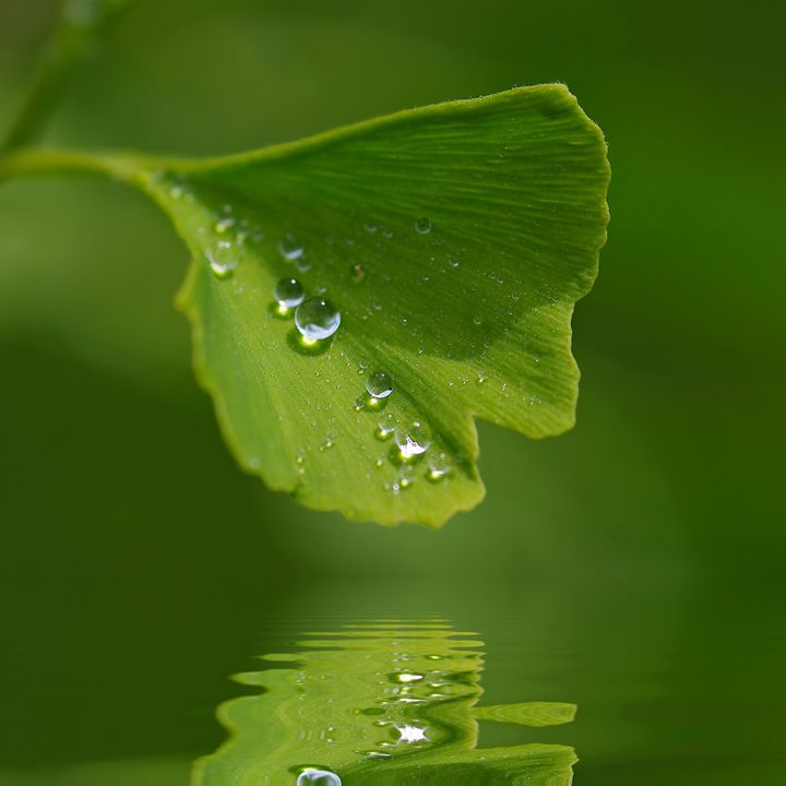 Ginkgo leave and Waterdrops - Gabi Siebenhuehner