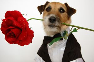 Dog With Rose - Studio Twelve