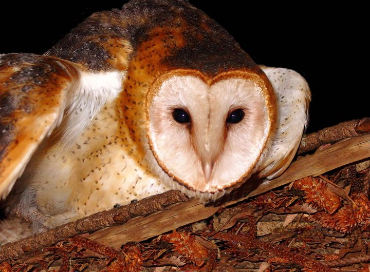 Barn Owl -Photograph - Michele Aguilar
