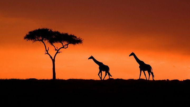 african giraffes - lucky the creator