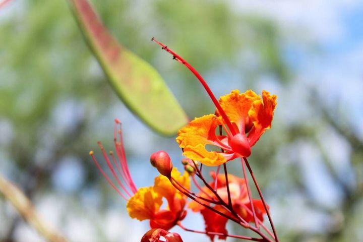 Fiery Flower - Sophia Zeteo