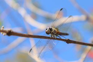 Perching Dragonfly