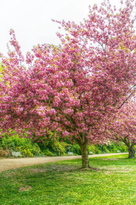 The Cherry Blossom Tree - Stephen Walton