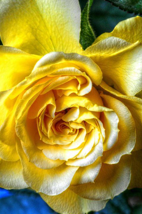 The Yellow Rose - Stephen Walton