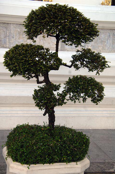 bonsi tree - james p connor