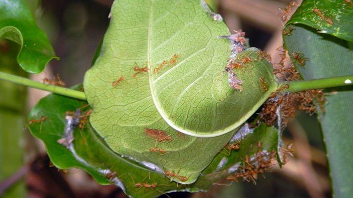 red ants nest goa india - james p connor