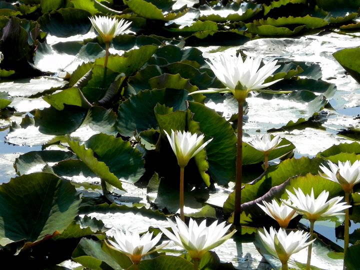 Water lilies  south Goa India 2016 - james p connor