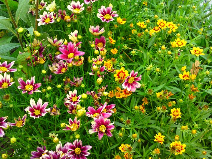 Purple and Yellow Fire Flowers - Gareth Store