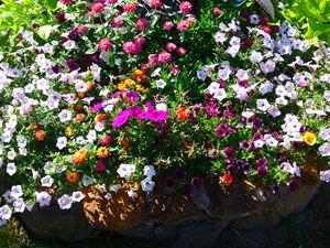 flower bundle petunia zinnias - Gareth Store
