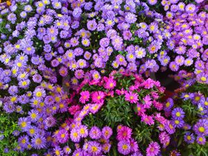Blue Purple Pink Mum Flower Mix