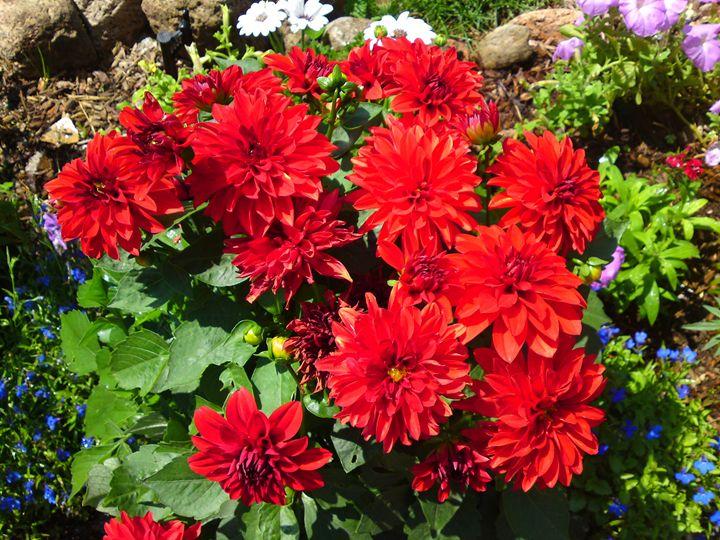 Red Dahlia Flower - Gareth Store