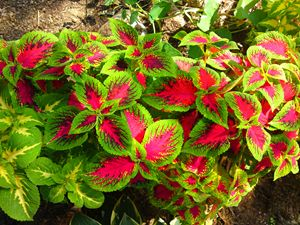 Pink Green Coleus Tropical