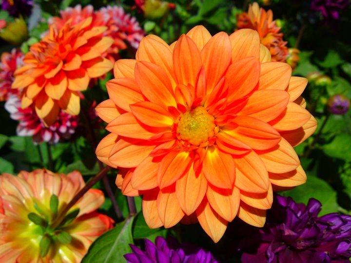 Bright Orange Dhalia Flower - Gareth Store