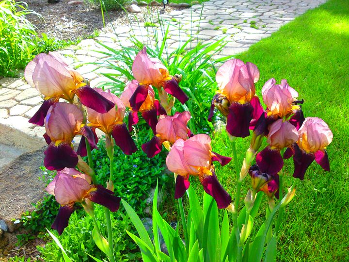 Maroon Iris Flower Patch - Gareth Store