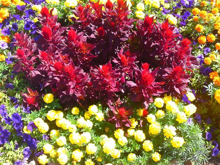 Celosia Marigold Petunia Flower Mix - Gareth Store
