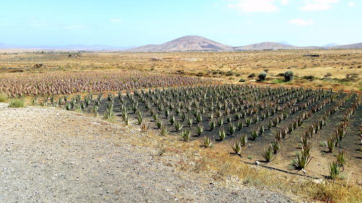 Fuerteventura Aloe Vera Landscape - V-ALLURE ART