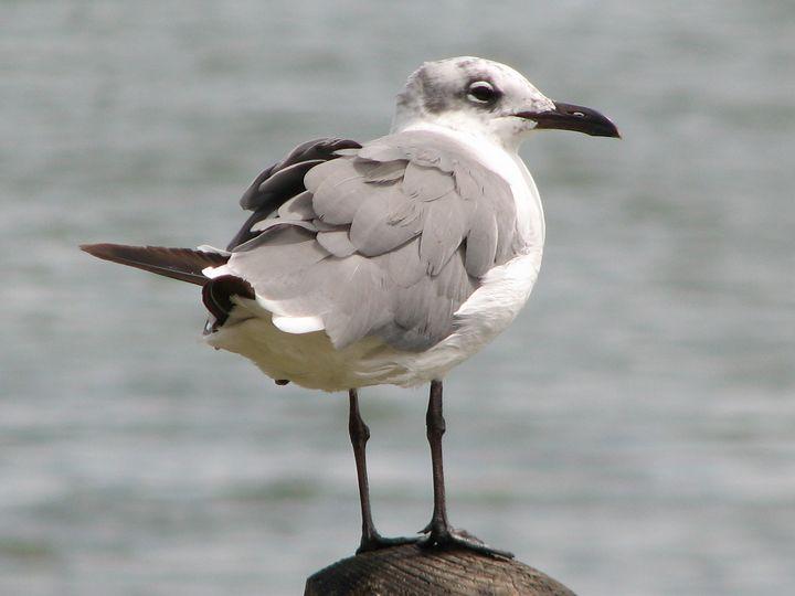Seagull posing - Impresonarte