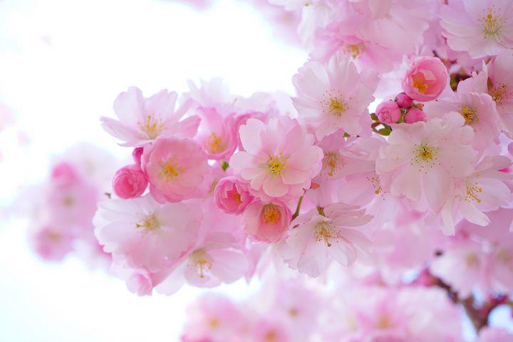 Pink blossom - Impresonarte