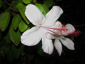 Blanca Hibiscus