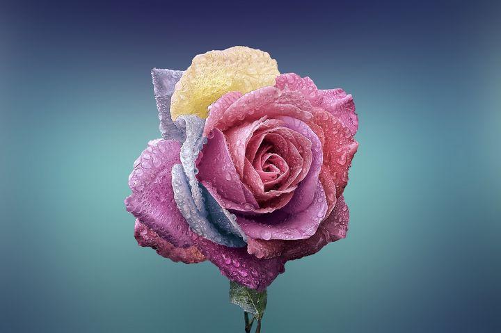 Multi color rose - Impresonarte