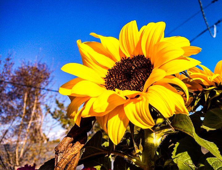 Sunflower - daynie