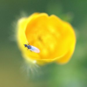 Fly on Buttercup - Aubrey Moat