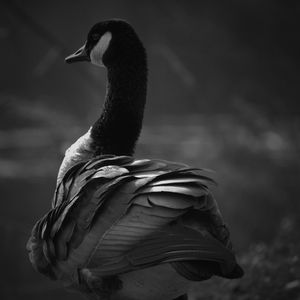 Black and White Goose #1 - Aubrey Moat